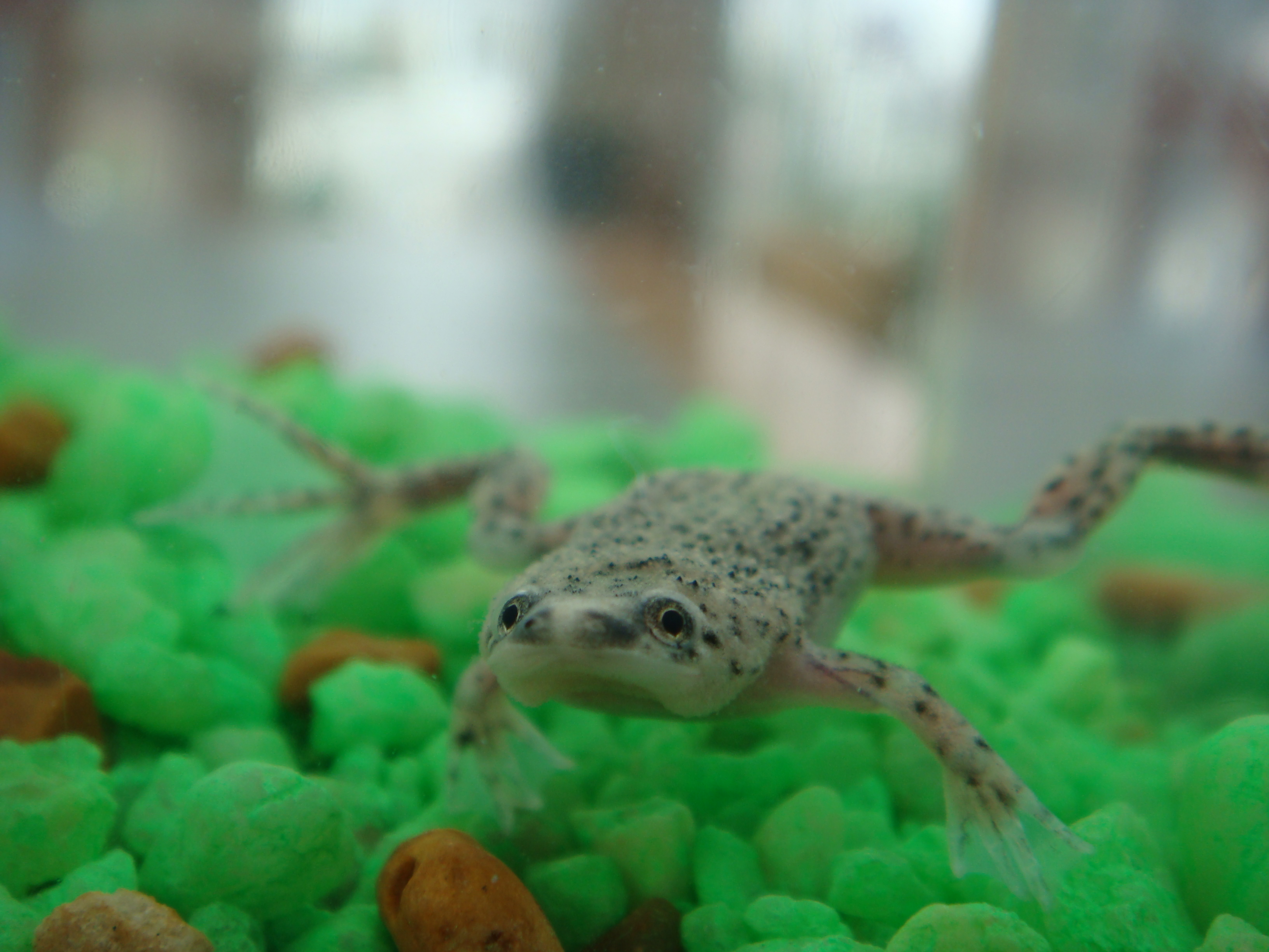 Water Frogs As Pets Related Keywords & Suggestions - Water Frogs As ...