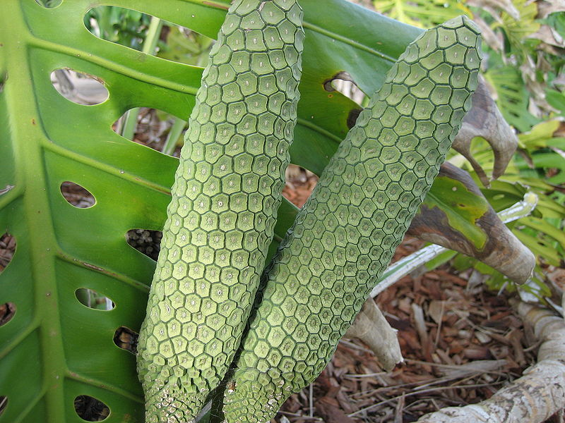 Monsteradeliciosafruit Monstera Deliciosa    The Delicious Monster of a Fruit!