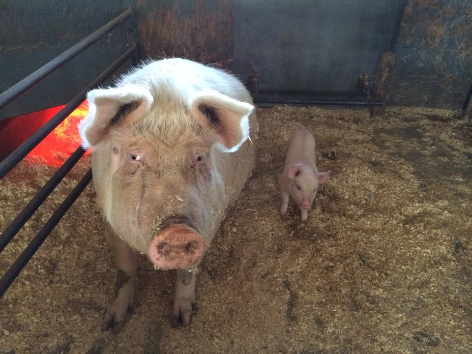 "Shortie and her baby, ""Miracle"". Miracle had blue eyes and was the only piglet to survive that litter."