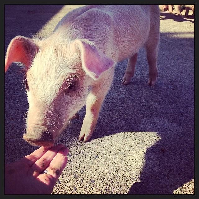 Here piggy, piggy!