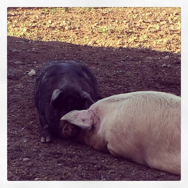 Queenie (black) and Strawberry Shortcake (pink) -- Shorty for short :) Our resident sows.